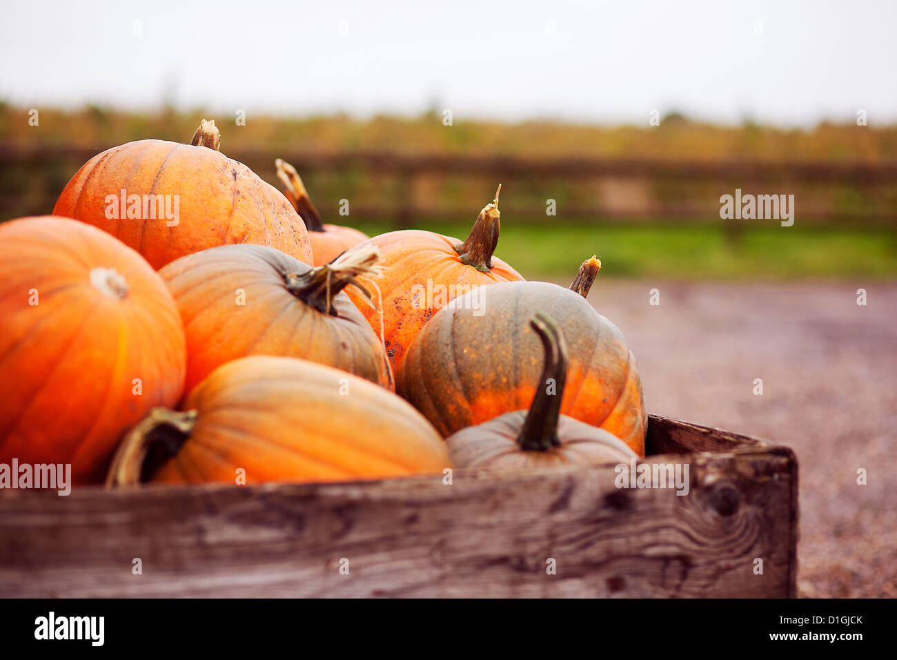 Lots of bright orange pumpkins in a crate ready for Halloween - Stock Image