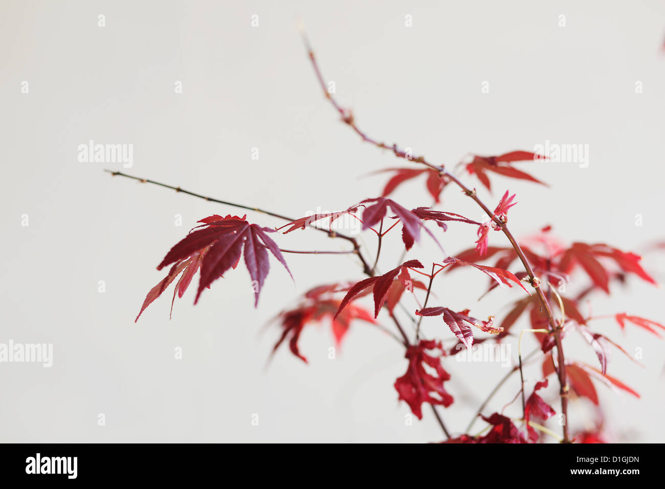 Simple red Hibiscus on plain white background - Stock Image