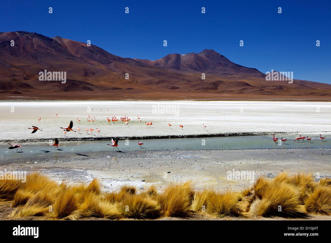Flamingos on Laguna Canapa, Southwest Highlands, Bolivia, South America - Stock Image