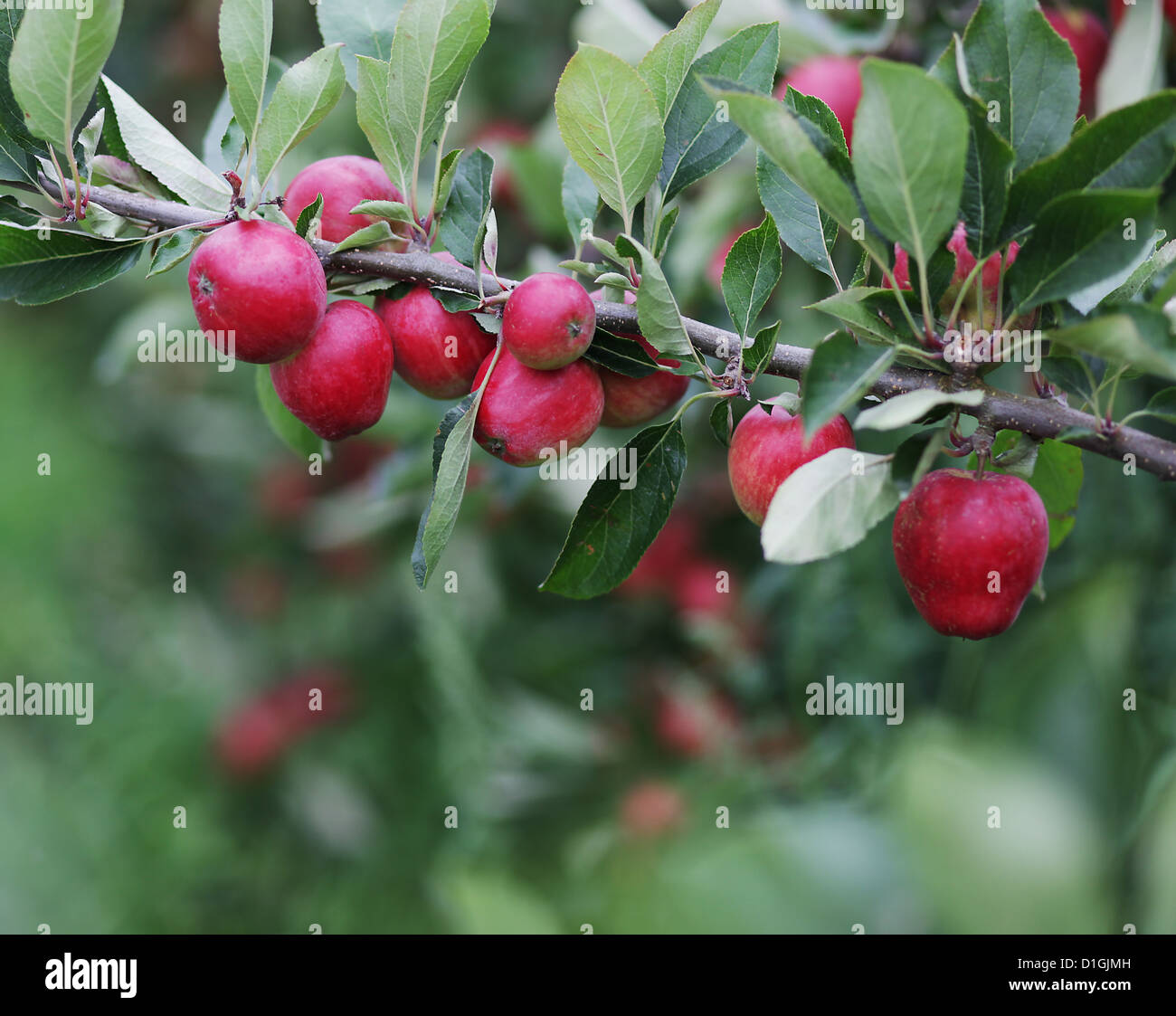 Close up of natural apples on apple trees in the spring - Stock Image