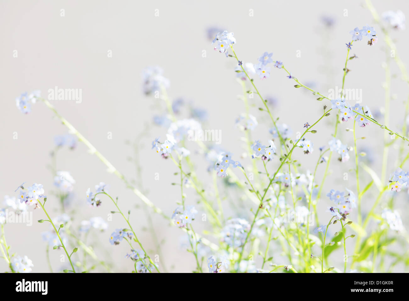 Light dreamy photo of forget me not's Stock Photo