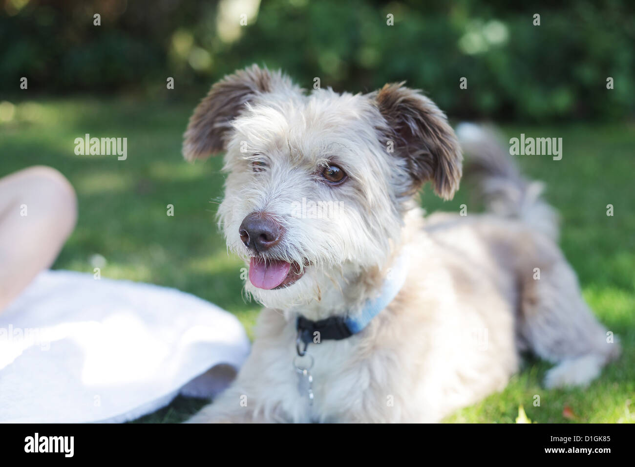 Small cute gray fluffy dog outside in a garden. - Stock Image