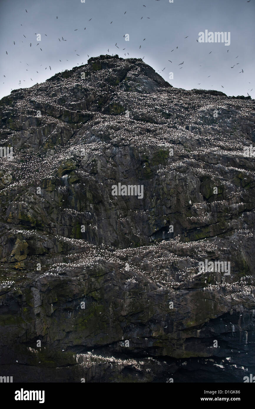 Wild gannets (Morus bassanus) colony, nesting. St. Kilda Islands, Outer Hebrides, Scotland, United Kingdom, Europe - Stock Image