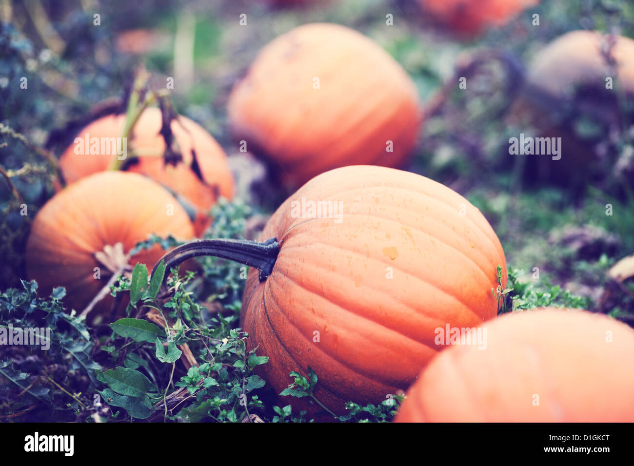 Close up of orange pumpkins in a pumpkin field. - Stock Image