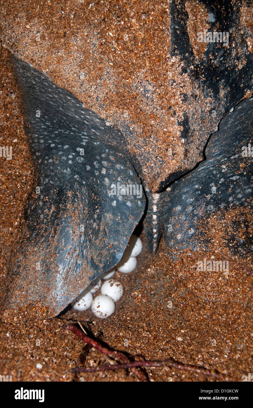 Close-up of leatherback turtle (Dermochelys coriacea) showing eggs being laid, Shell Beach, Guyana, South America - Stock Image