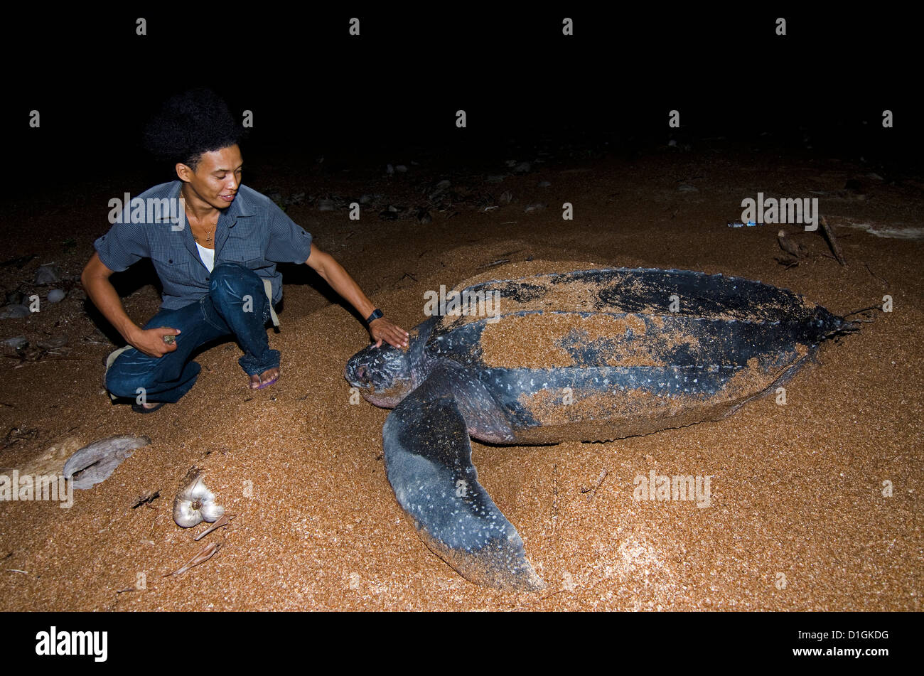 Turtle warden with nesting Leatherback turtle (Dermochelys coriacea), Shell Beach, Guyana, South America - Stock Image