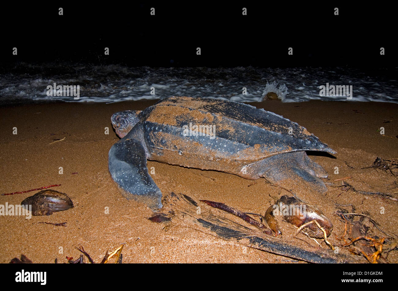 Leatherback turtle (Dermochelys coriacea) returning to the sea having laid a clutch of eggs, Shell Beach, Guyana, - Stock Image