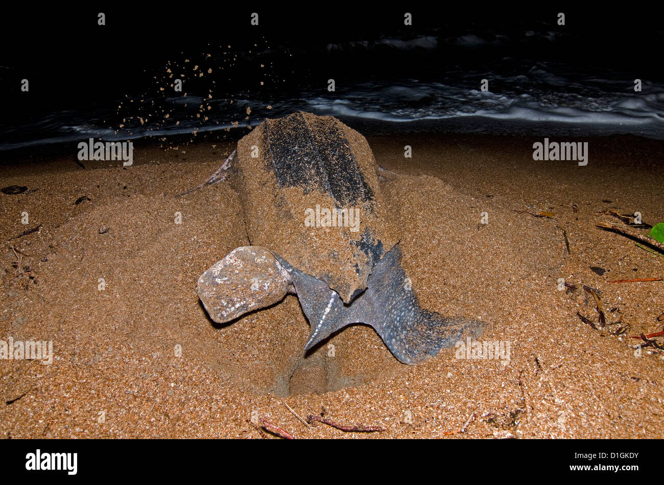 Leatherback turtle (Dermochelys coriacea) excavating a nest hole, Shell Beach, Guyana, South America - Stock Image