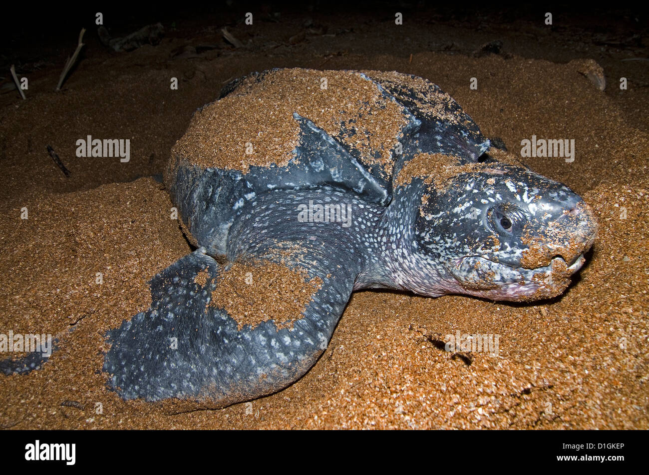 Frontal view of a nesting Leatherback turtle (Dermochelys coriacea), Shell Beach, Guyana, South America - Stock Image