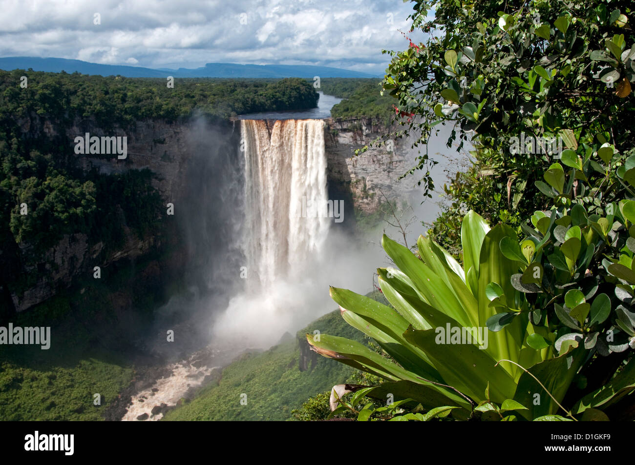 Giant Tank Bromeliad (Brocchinia micrantha) with Kaieteur Falls in the background, Kaieteur National Park, Guyana, - Stock Image