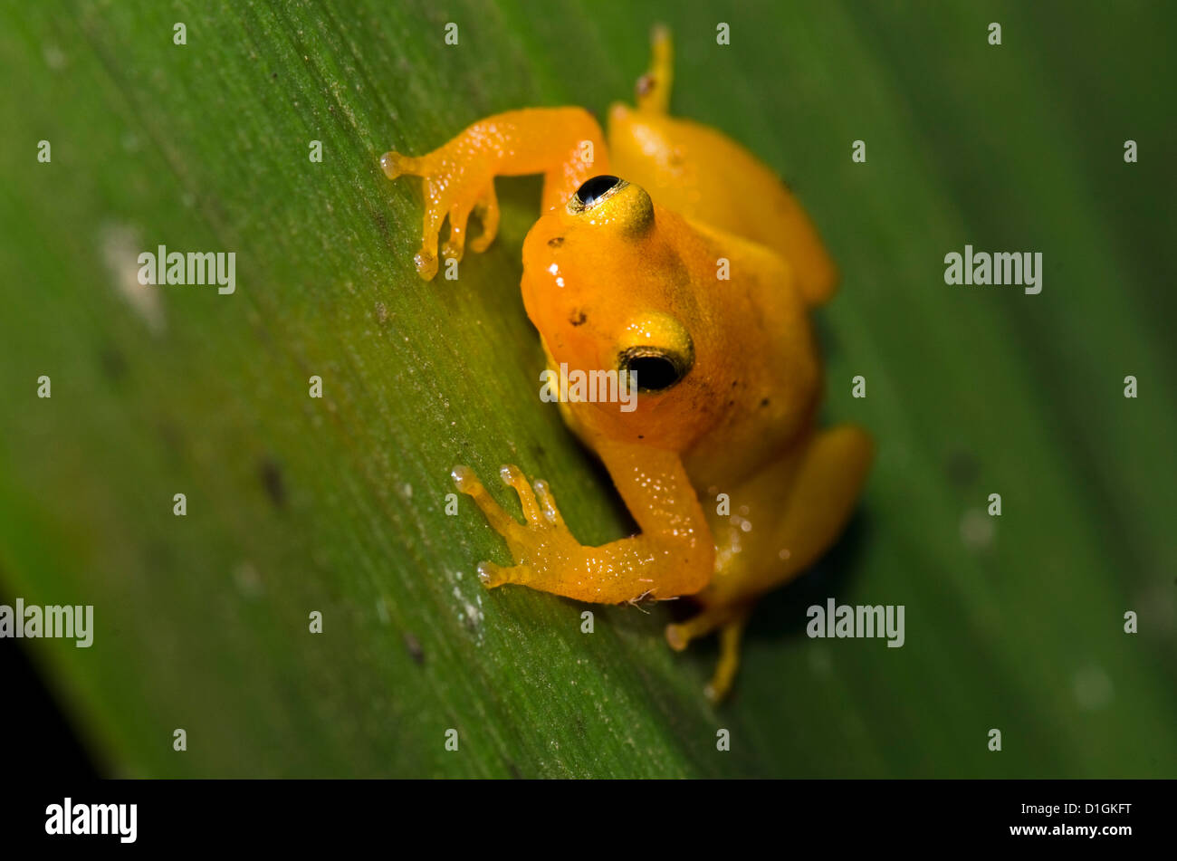 Golden Rocket Frog (Anomaloglossus beebei) on giant tank Bromeliad (Brocchinia micrantha), Kaieteur National Park, - Stock Image