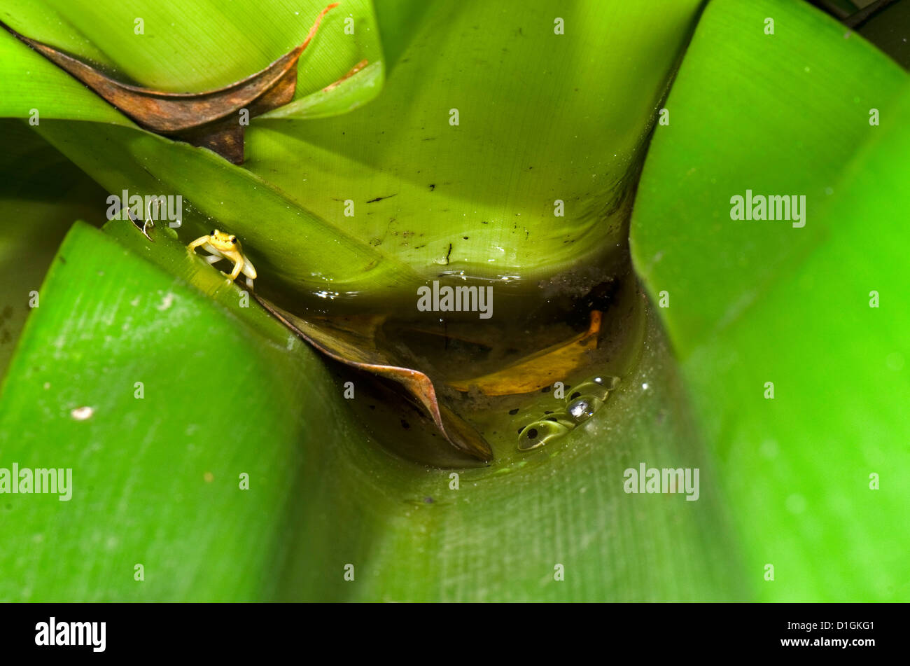 Golden Rocket Frog (Anomaloglossus beebei) guarding spawn in Giant Tank Bromeliad, Kaieteur National Park, Guyana - Stock Image