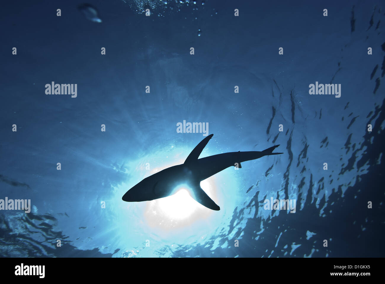 Blue shark (Prionace glauca) in the Azores, Portugal, Atlantic, Europe Stock Photo