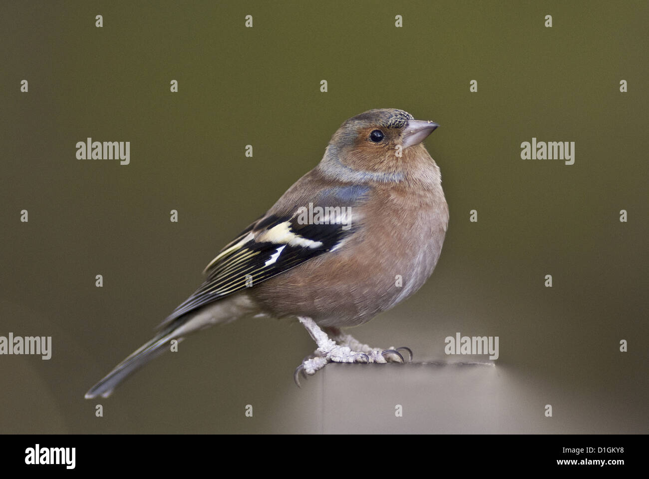 Chaffinch (Fringilla coelebs) in a woodland parkland, United Kingdom, Europe - Stock Image
