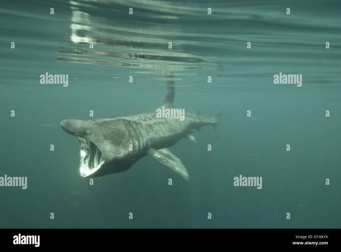 Basking shark (Cetorhinus maximus) feeding on plankton, Inner Hebrides, Scotland, United Kingdom, Europe - Stock Image