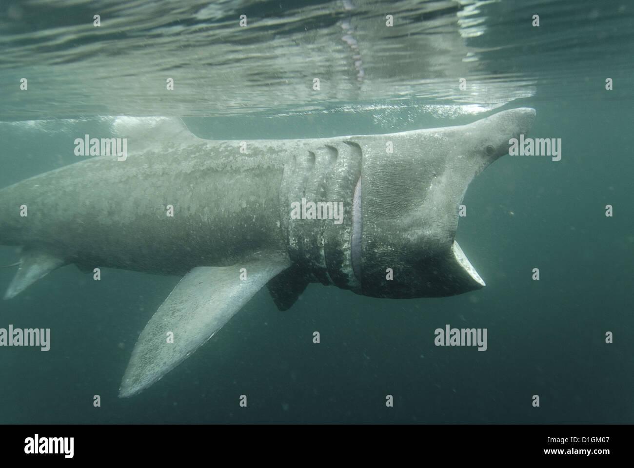 Basking shark (Cetorhinus maximus) feeding on plankton, Hebrides, Scotland, United Kingdom, Europe - Stock Image