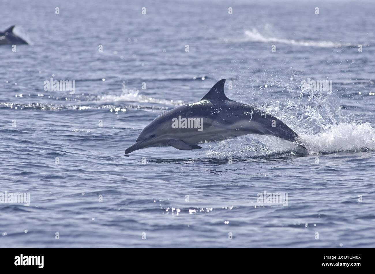 Common dolphin (Delphinus delphis), Sound of Mull, Inner Hebrides, Scotland, United Kingdom, Europe - Stock Image