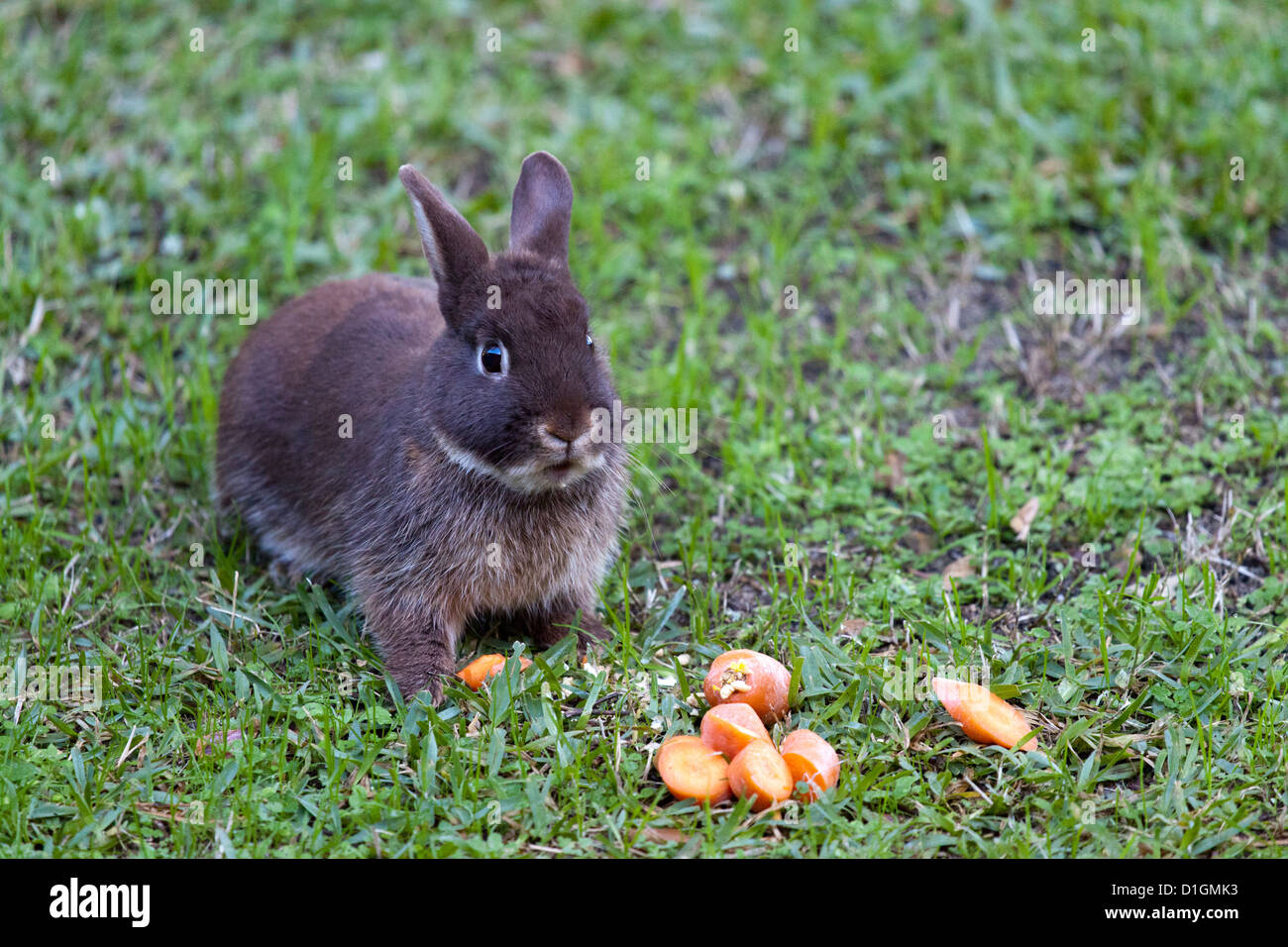 The meal of a tamed dwarf rabbit (Oryctolagus cuniculus) living in relative liberty.  Le repas d'un lapin nain apprivoisé. Stock Photo