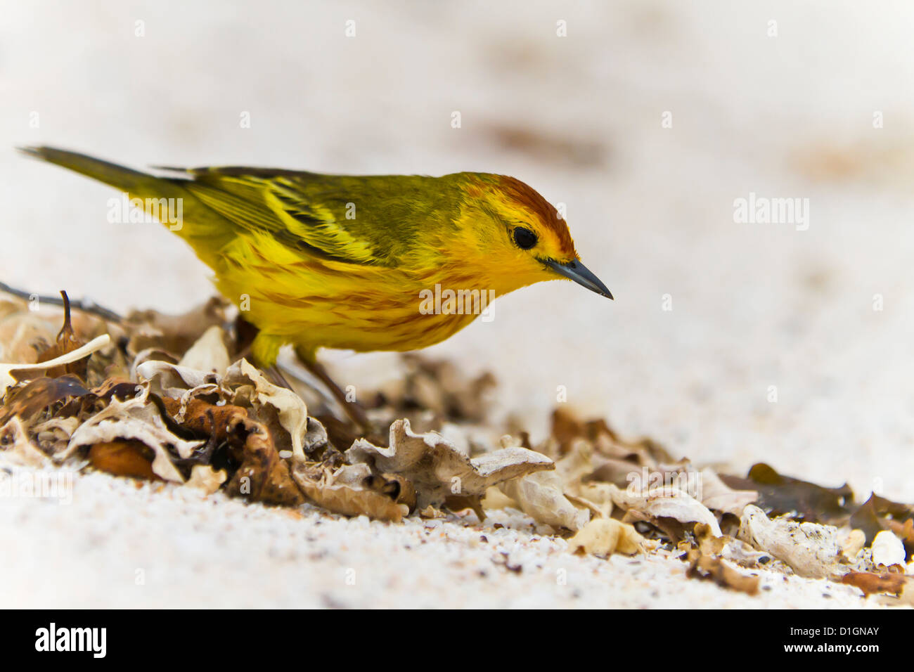 Adult yellow warbler (Dendroica petechia aureola), Santiago Island, Galapagos Islands, UNESCO World Heritge Site, - Stock Image