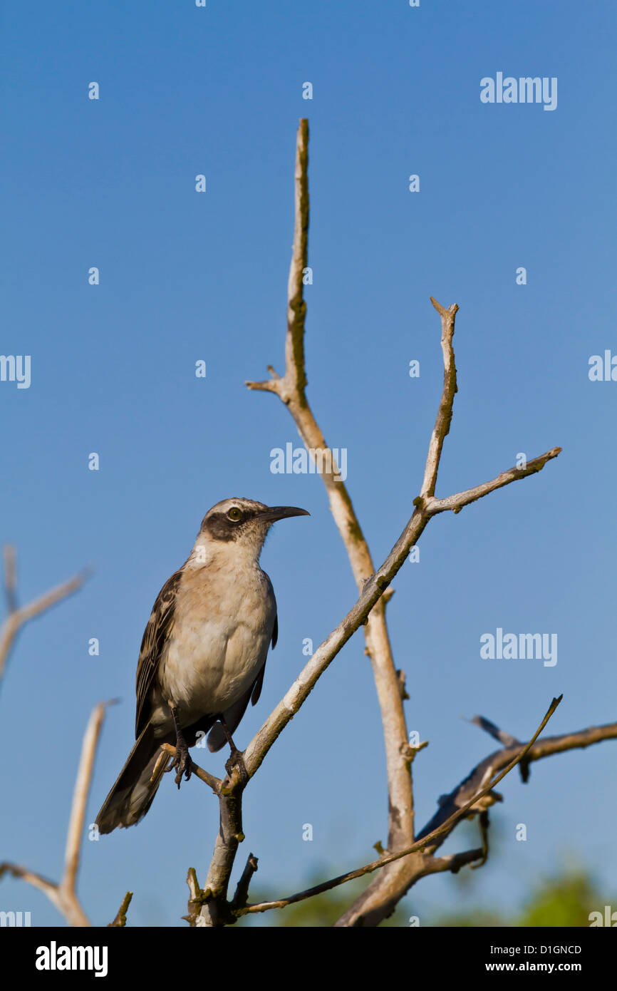 Galapagos mockingbird (Mimus parvulus), Genovesa Island, Galapagos Islands, UNESCO World Heritage Site, Ecuador, Stock Photo