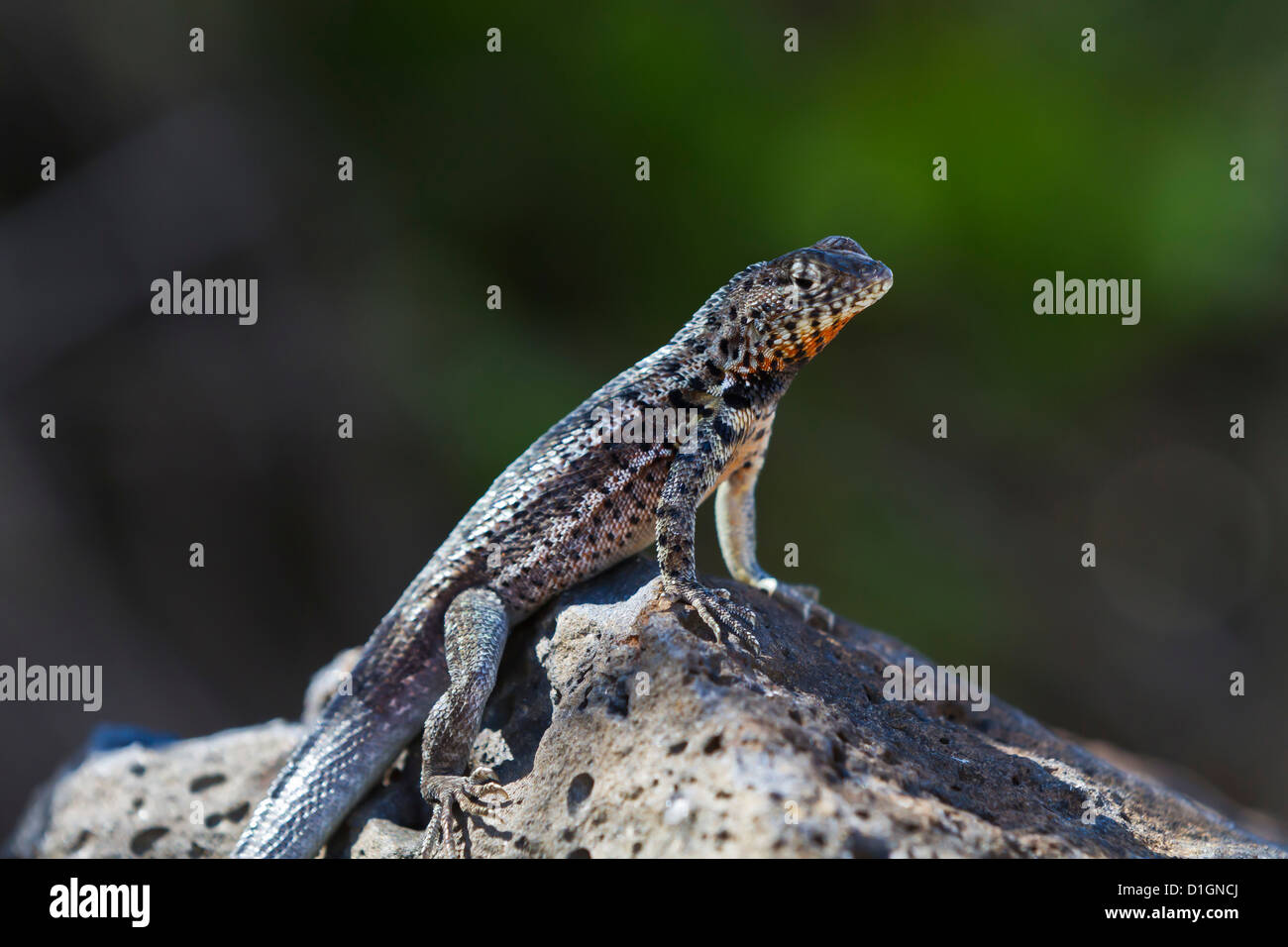 Lava lizard (Microlophus spp), Santa Cruz Island, Galapagos Islands, UNESCO World Heritage Site, Ecuador, South - Stock Image