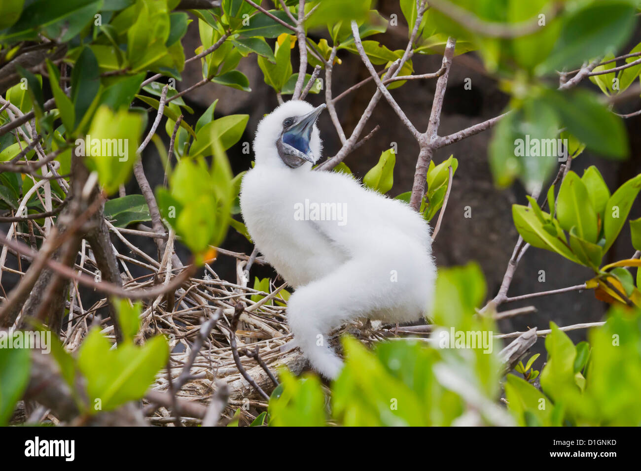 Red-footed  booby chick (Sula sula), Genovesa Island,  Galapagos Islands, UNESCO World Heritage Site, Ecuador, South - Stock Image