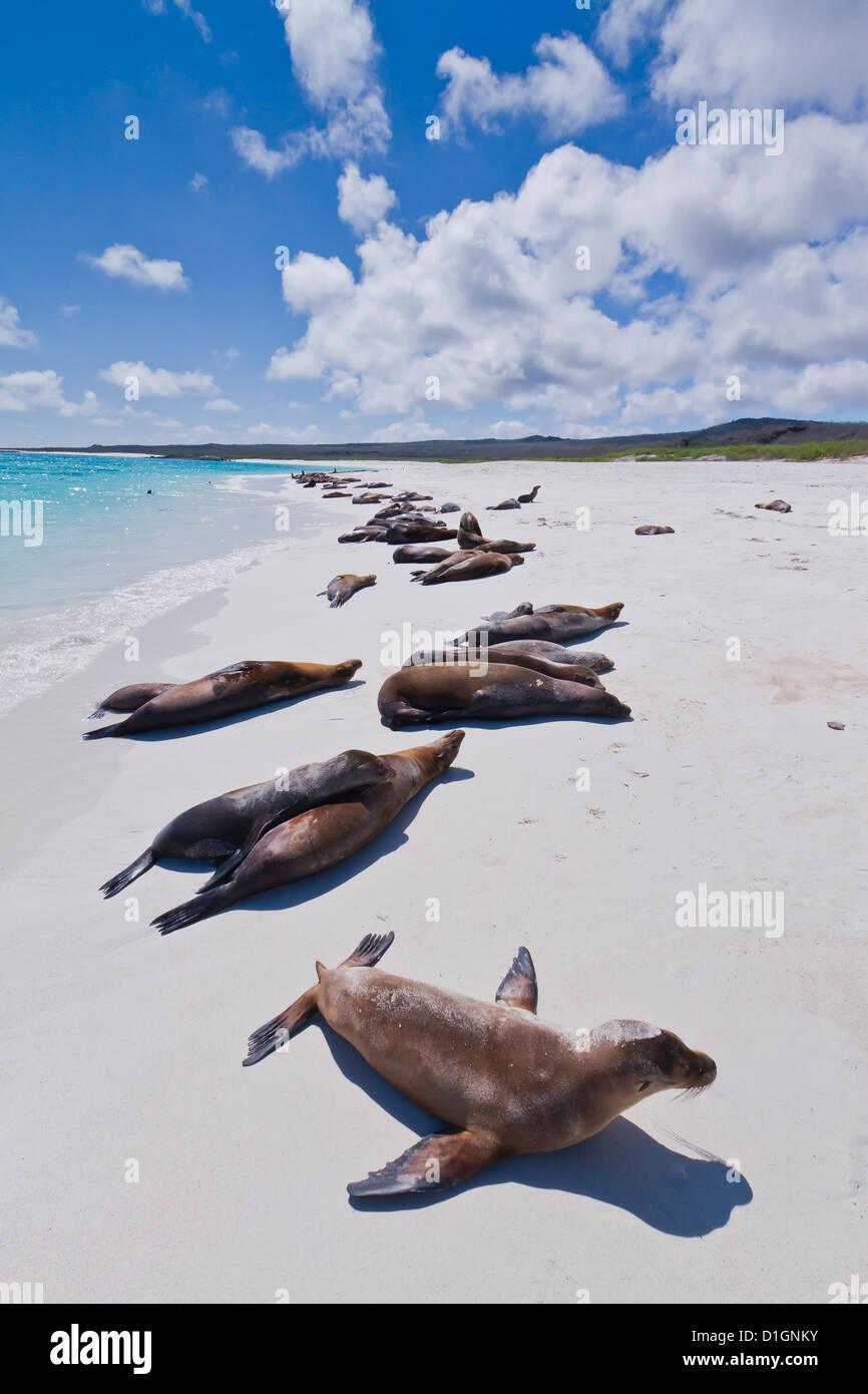 Galapagos sea lions (Zalophus wollebaeki), Gardner beach, Santiago Island, Galapagos Islands, Ecuador, South America - Stock Image