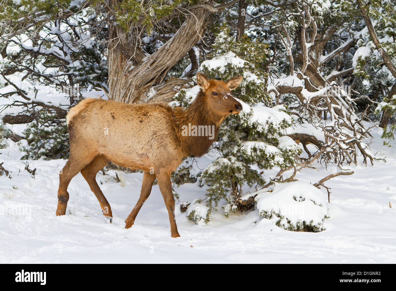 Elk, Cervus canadensis, wapiti, South Rim, Grand Canyon National Park, Arizona, United States of America, North - Stock Image