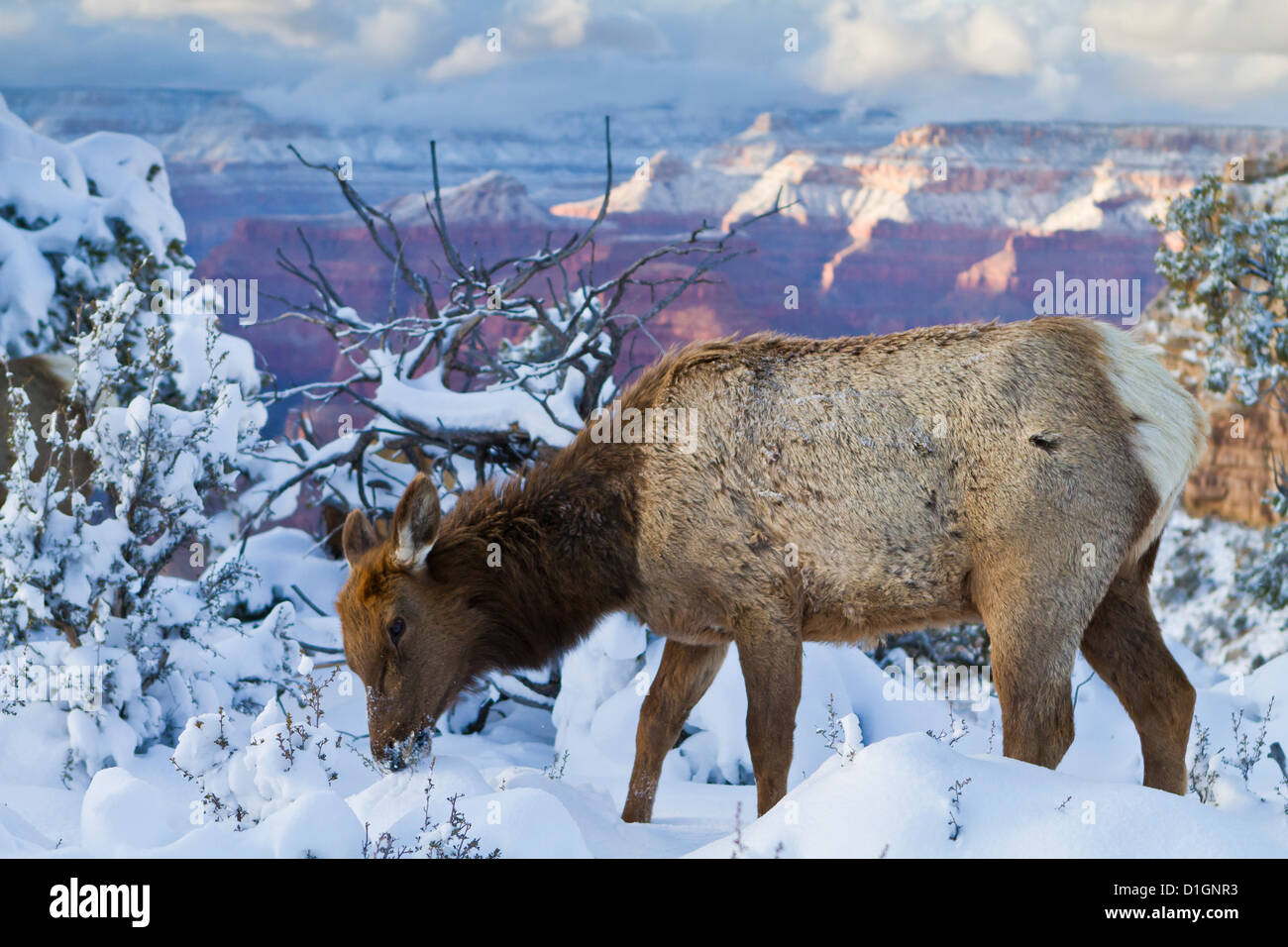 Elk (Cervus canadensis) (wapiti), South Rim, Grand Canyon National Park, Arizona, United States of America, North - Stock Image