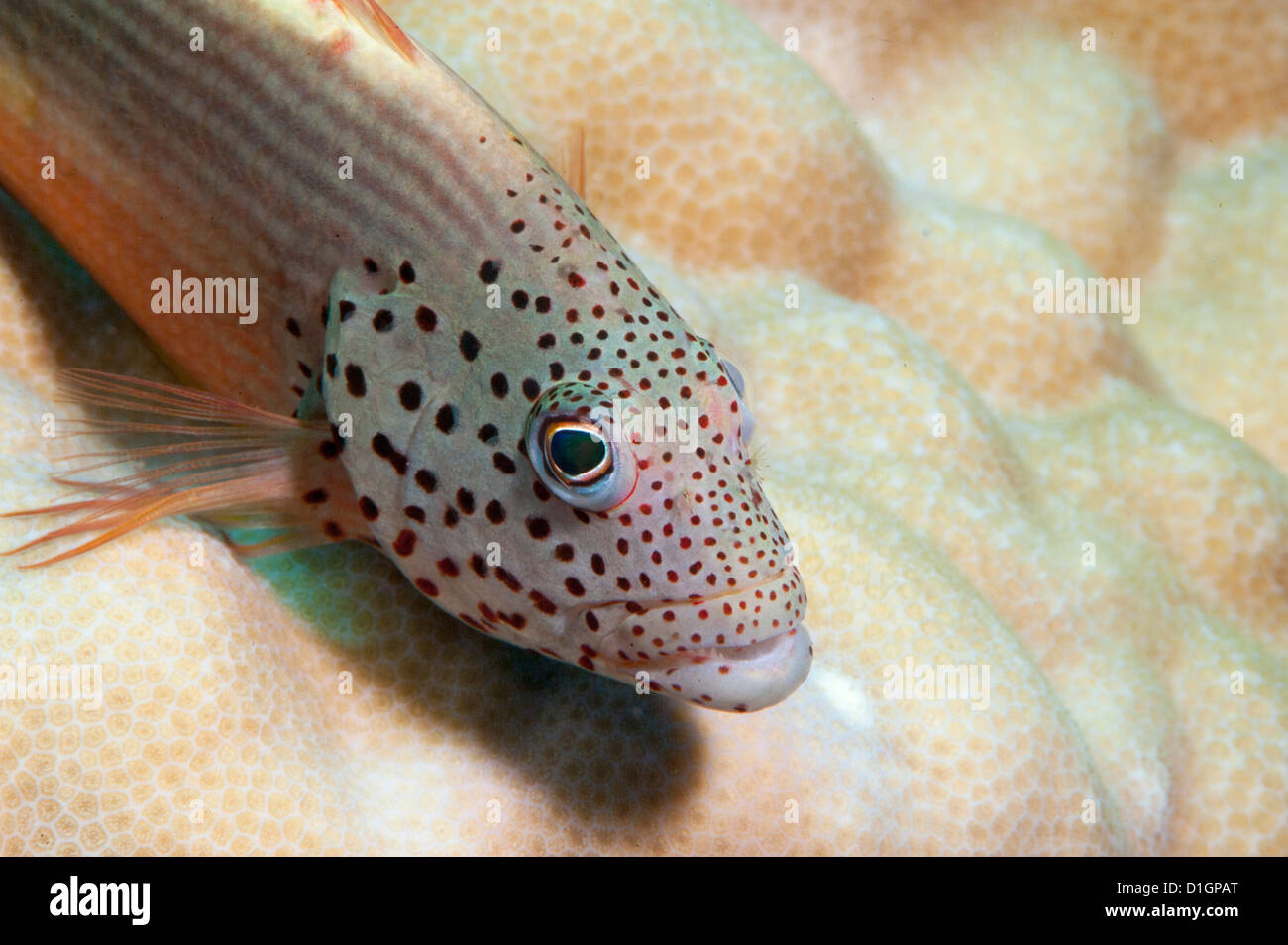 Freckled grouper (Cephalopholis microprion), Sulawesi, Indonesia, Southeast Asia, Asia - Stock Image