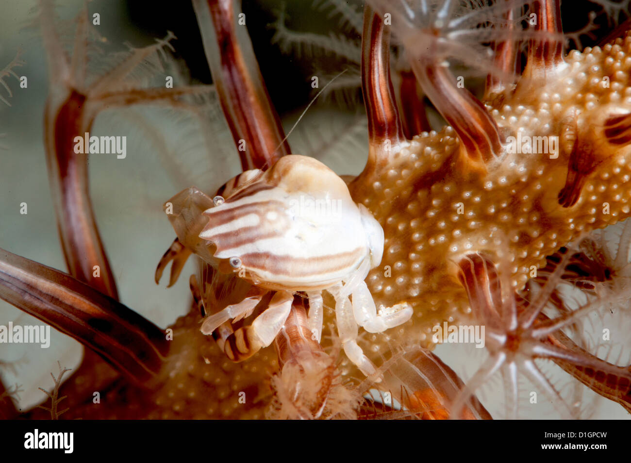Squat lobster (Galathea sp.), Sulawesi, Indonesia, Southeast Asia, Asia - Stock Image