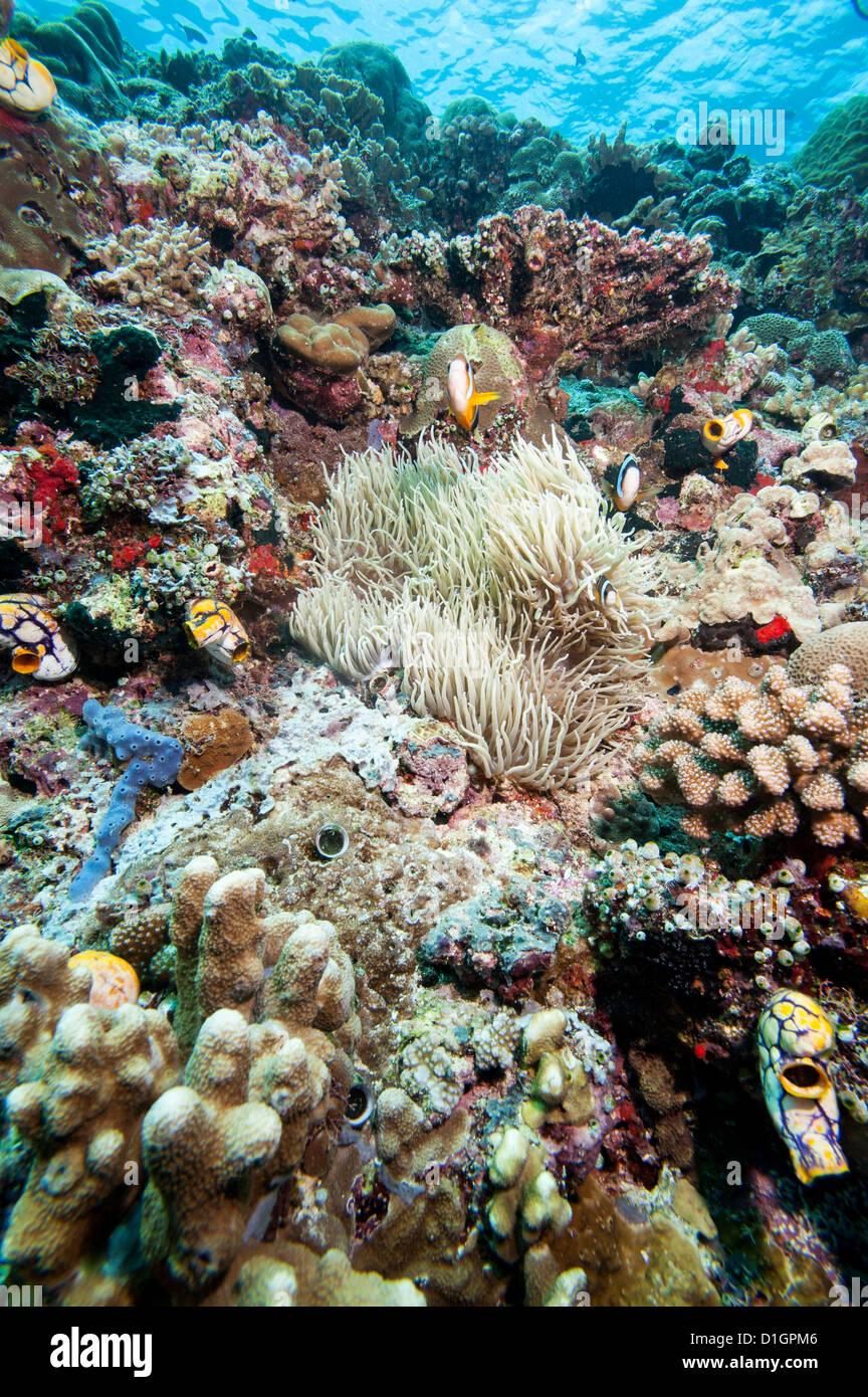 Reef scene, Sulawesi, Indonesia, Southeast Asia, Asia - Stock Image