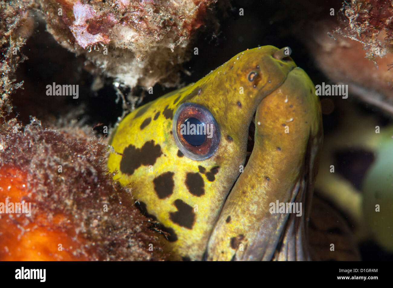Undulated moray eel (Gymnothorax undulatus), Sulawesi, Indonesia, Southeast Asia, Asia - Stock Image