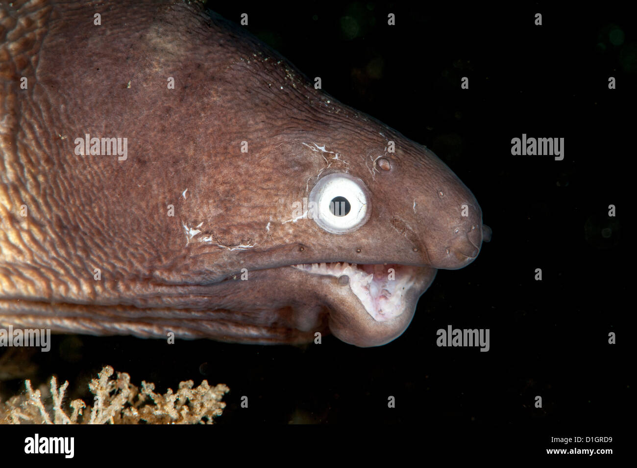 Deformed white eyed moray eel (Siderea thysoidea), Sulawesi, Indonesia, Southeast Asia, Asia - Stock Image