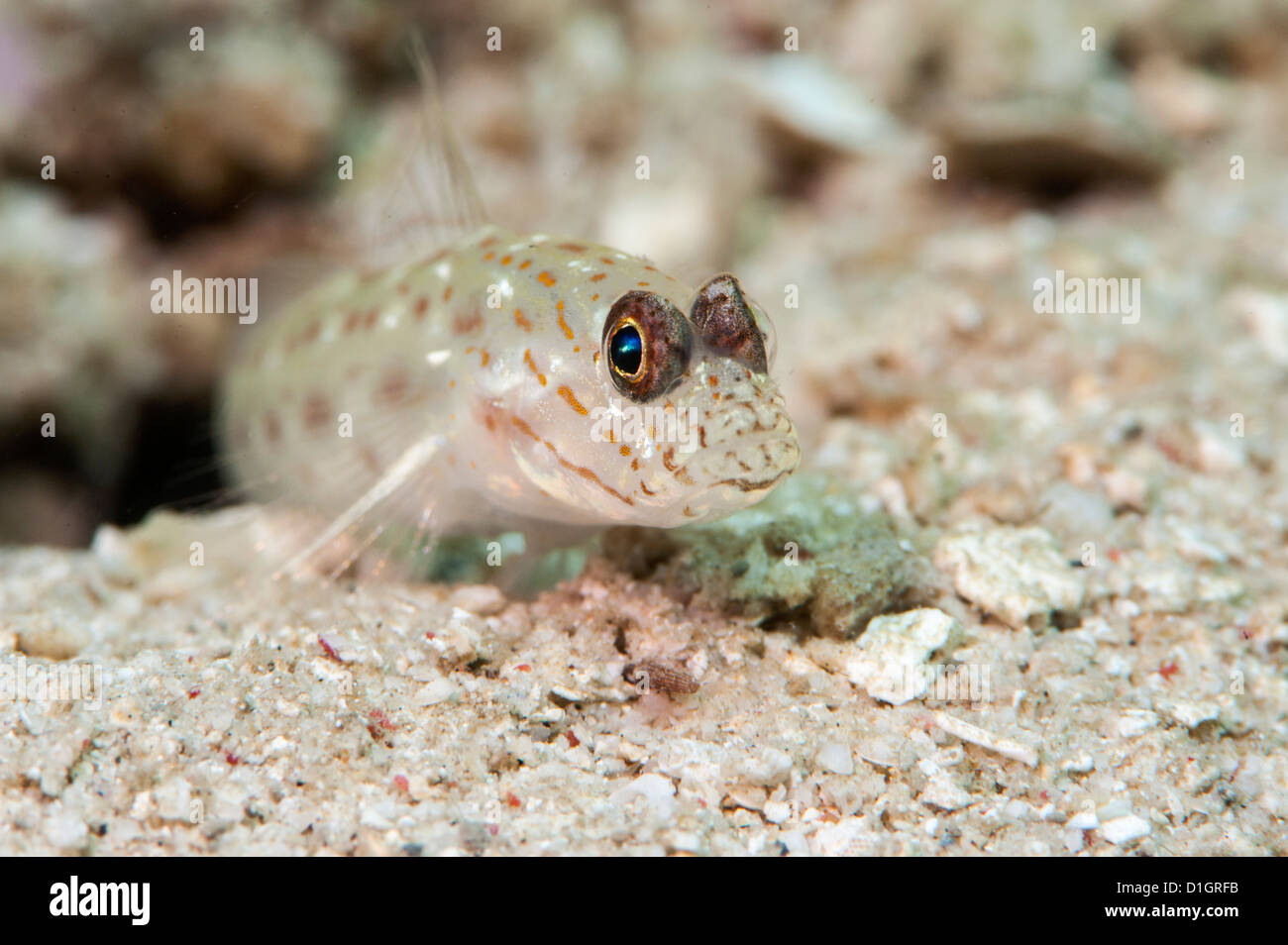 Gold speckled shrimp goby (Ctenogobiops pomastictus), Sulawesi, Indonesia, Southeast Asia, Asia - Stock Image