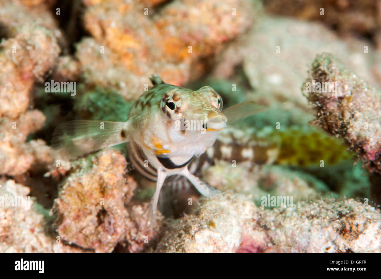 Speckled sandperch (Parapercis hexophthalma), Sulawesi, Indonesia, Southeast Asia, Asia - Stock Image
