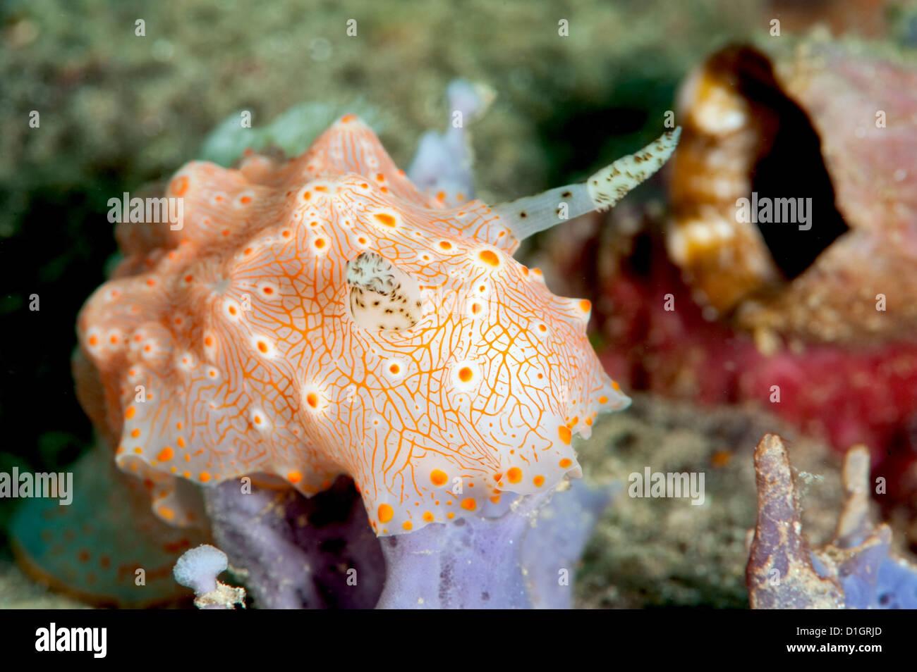 Halgerda carlsoni nudibranch, Sulawesi, Indonesia, Southeast Asia, Asia - Stock Image