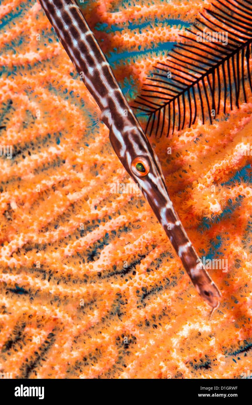 Trumpetfish (Aulostomidae), Sulawesi, Indonesia, Southeast Asia, Asia - Stock Image