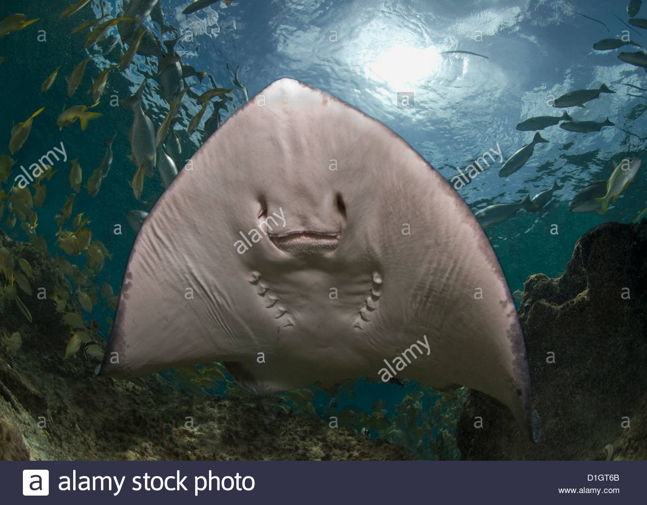Stingray (Dasyatis thetidis) from below with the sun behind, Cozumel, Mexico, Caribbean, North America - Stock Image