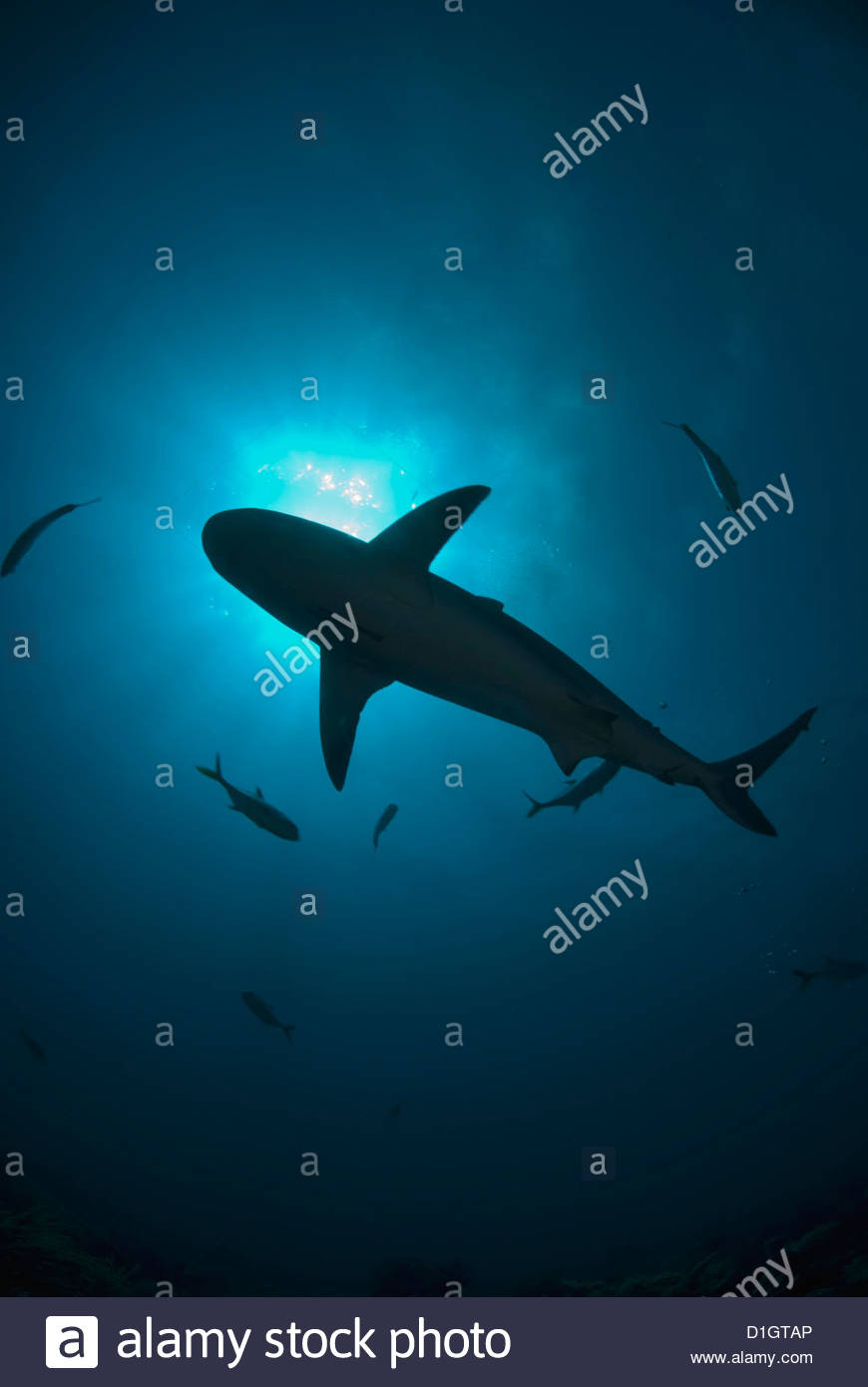 Caribbean reef shark (Carcharhinus perezii) swimming as silhouette with the sun seen from below, Roatan, Bay Islands, - Stock Image