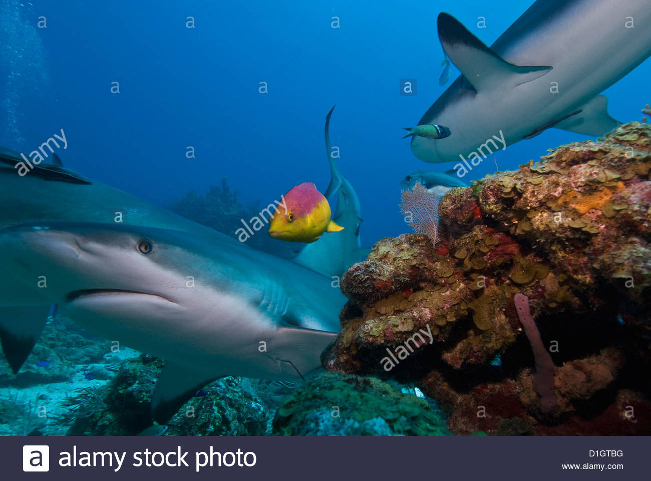 Caribbean reef shark (Carcharhinus perezii) and coral reef fish, Roatan, Bay Islands, Honduras, Caribbean, Central - Stock Image