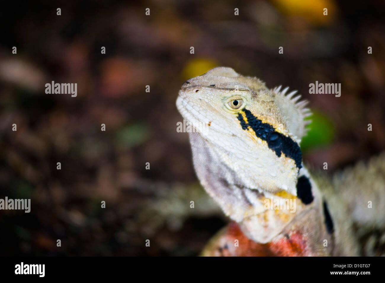 Australian eastern water dragon (Physignathus lesueurii) in Brisbane Botanical Gardens, Queensland, Australia, Pacific - Stock Image