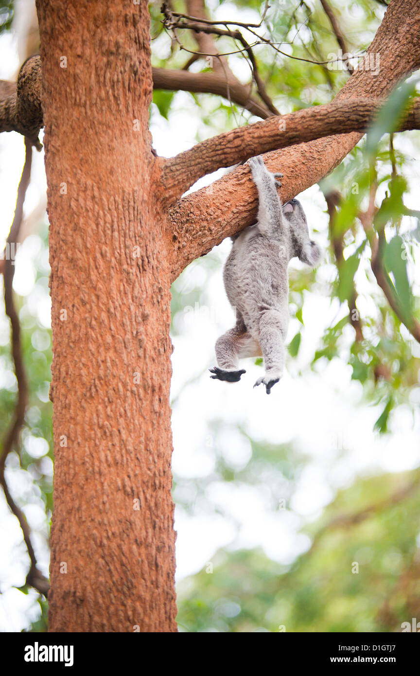 Koala Bear (Phascolarctos cinereus) at Port Macquarie Koala Bear Hospital, New South Wales, Australia, Pacific - Stock Image