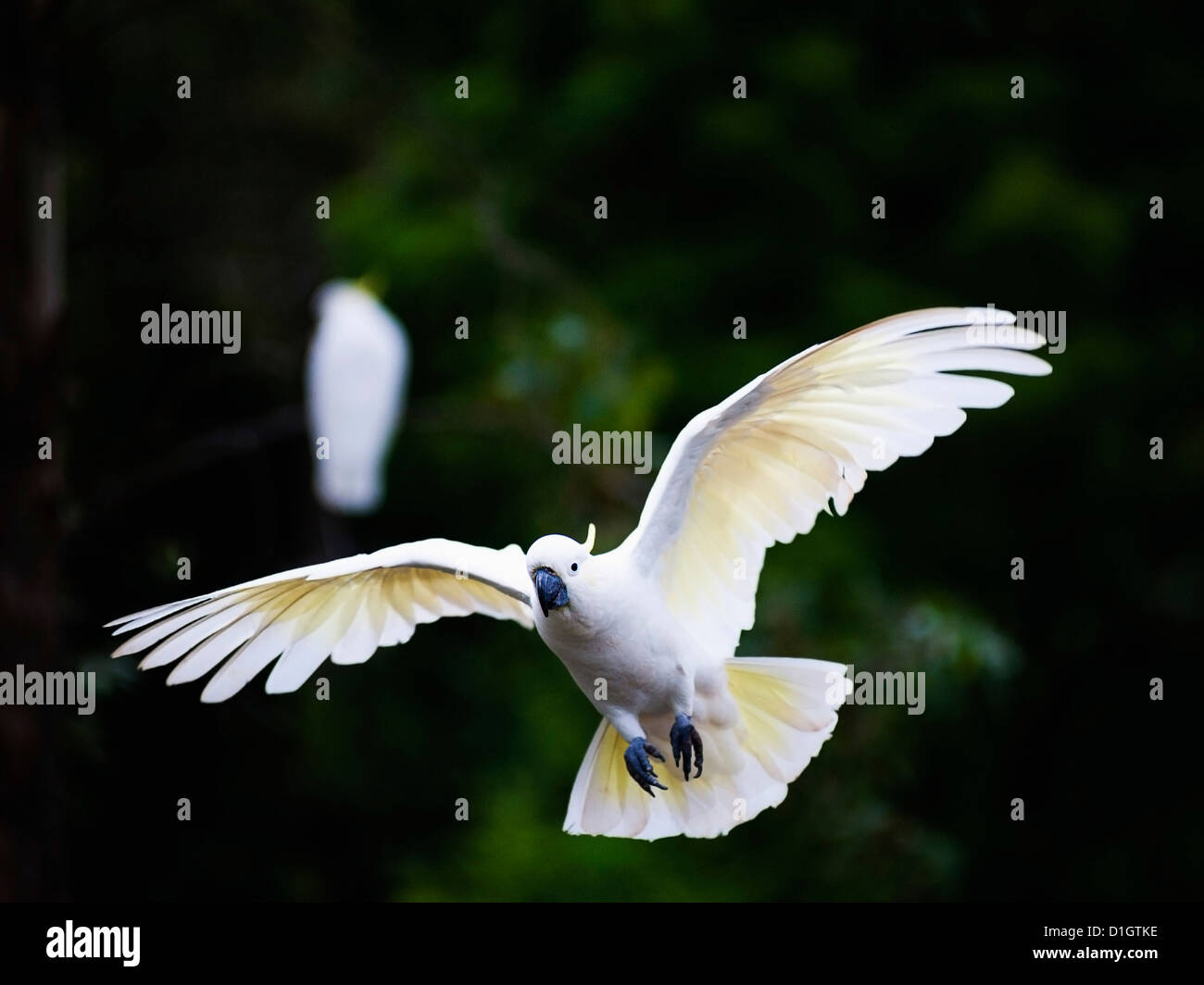 Sulphur-crested cockatoo (Cacatua galerita) flying in Sydney Royal Botanic Gardens, Sydney, New South Wales, Australia, - Stock Image
