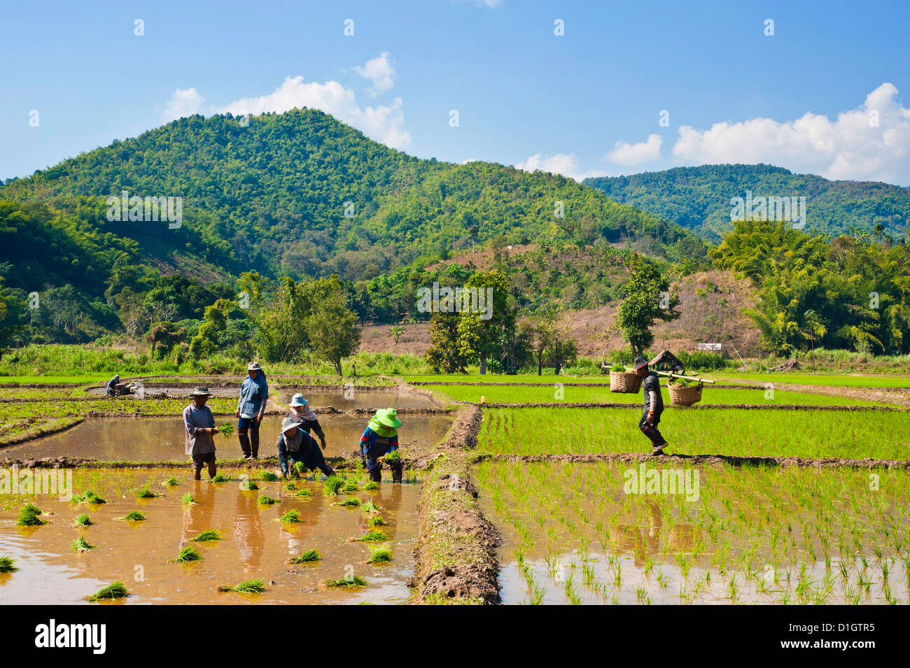 Lahu tribe people planting rice in rice paddy fields, Chiang Rai, Thailand, Southeast Asia, Asia - Stock Image