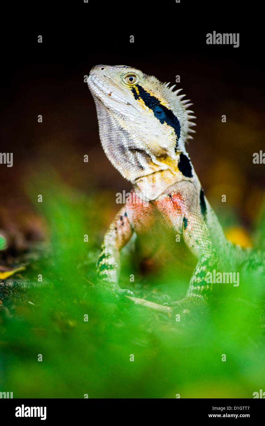Australian eastern water dragon (Physignathus lesueurii) in Brisbane Botanical Gardens, Brisbane, Queensland, Australia, - Stock Image