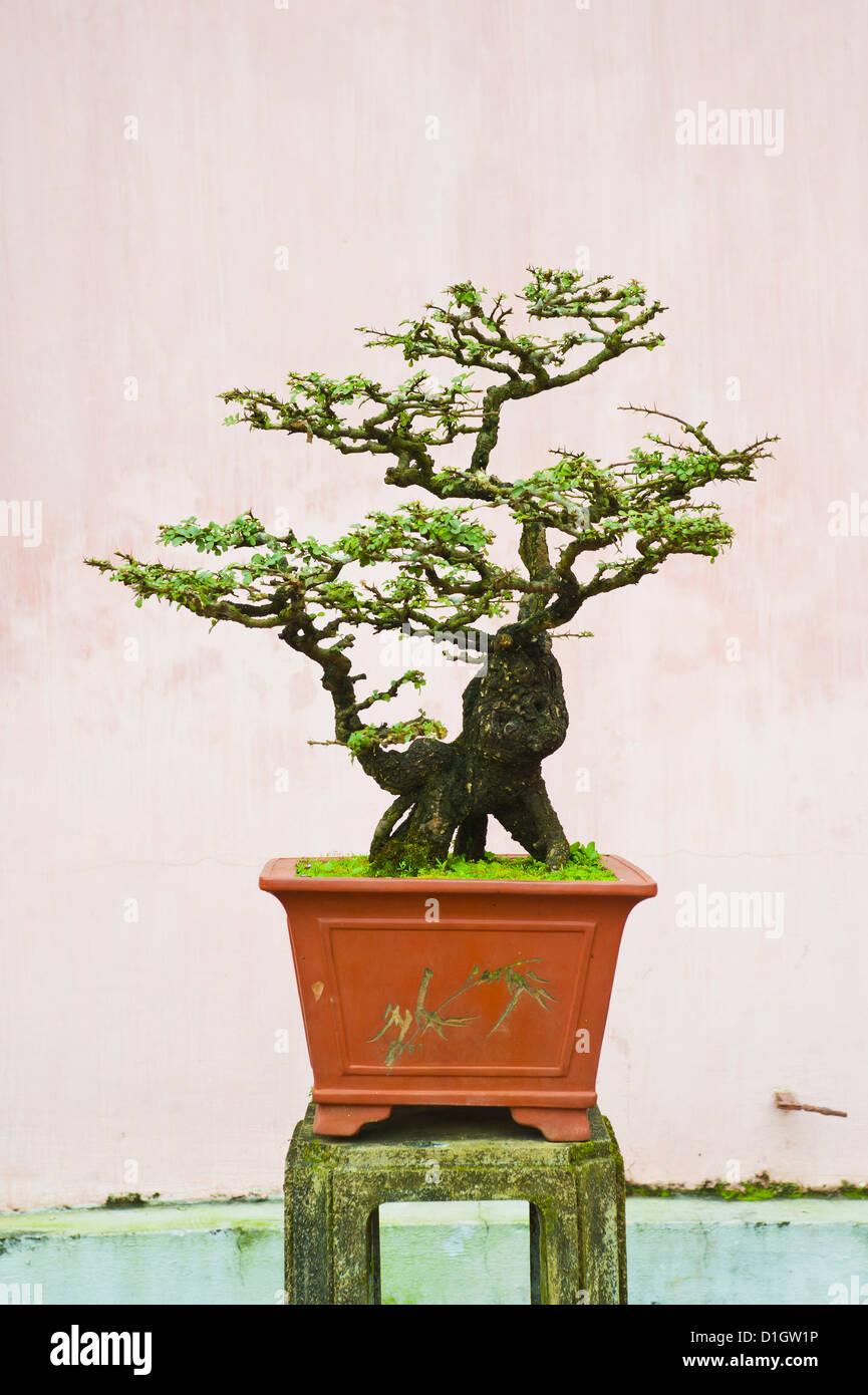 Close-up of a bonzai tree at Thien Mu Pagoda, Hue, Vietnam, Indochina, Southeast Asia, Asia - Stock Image