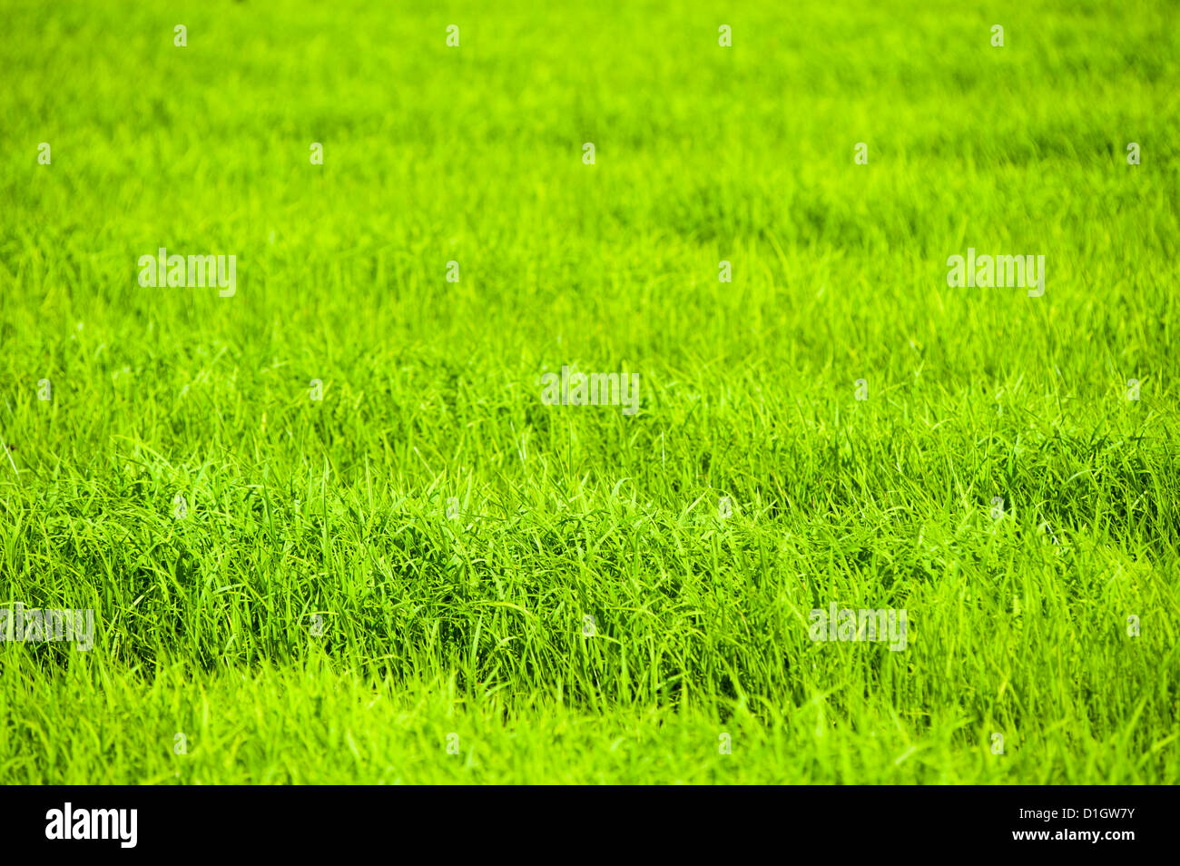 Rice paddy fields near Chiang Rai, Thailand, Southeast Asia, Asia - Stock Image