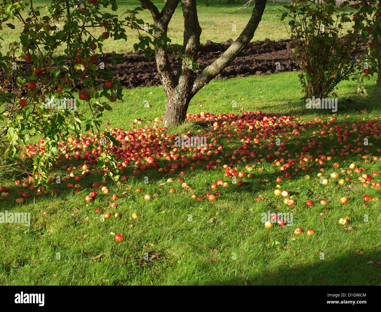 Lot Of Red Fallen Apples On Grass Under The Apple Tree