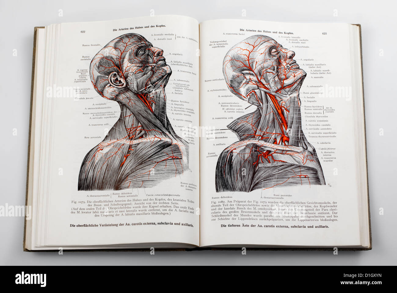 Woodcuts in a medical textbook, illustration of the nerves and arteries in the human head, - Stock Image